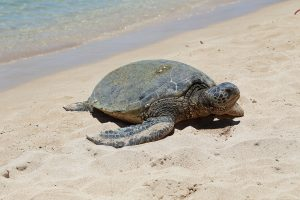keep an eye out for turtles on Whitehaven Beach